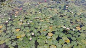 Champ de Lotus sur une île tropicale Bali, Indonésie Belle scène 4K aérienne des lotus, de l'arbre de plumeria, paumes et banque de vidéos