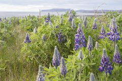 Champ de lupins en Islande Photo libre de droits