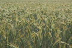Champ de maïs Photos libres de droits