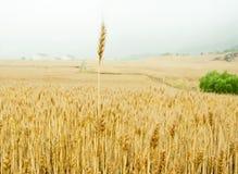 Champ de maïs Image stock