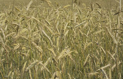 Champ de maïs Image libre de droits