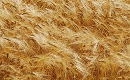 Champ de maïs Photographie stock
