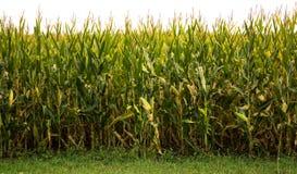 Champ de maïs Photo libre de droits