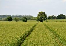 Champ de maïs anglais images stock