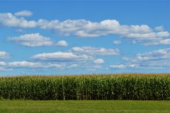 Champ de maïs avec des nuages dans le ciel image libre de droits