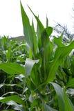 Champ de maïs avec l'élevage vert de maïs Image libre de droits