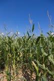 Champ de maïs avec le soleil Photo libre de droits