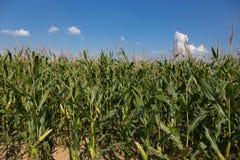 Champ de maïs avec le soleil et les cieux bleus Image stock