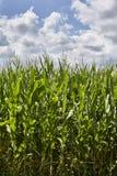 Champ de maïs avec les nuages et le ciel bleu Images libres de droits