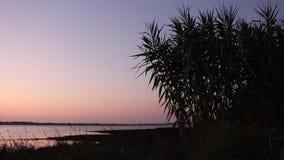 Champ de maïs balançant doucement dans le vent dans fin de soirée, avec la rivière comme fond banque de vidéos