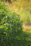 Champ de maïs [collection de ferme] Images libres de droits