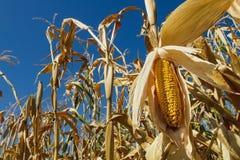 Champ de maïs contre le ciel Images libres de droits