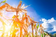 Champ de maïs contre le ciel bleu dans le coucher du soleil photographie stock