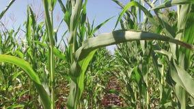 Champ de maïs cultivant le steadicam de ferme de maïs l'agriculture Etats-Unis d'herbe verte la nature Etats-Unis visuels font si Image libre de droits