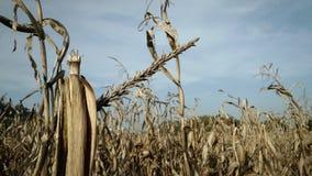 Champ de maïs dans la saison de récolte image libre de droits