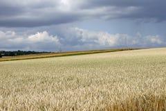 Champ de maïs dans la tempête Images libres de droits