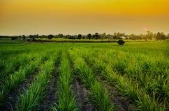 Champ de maïs dans le coucher du soleil Images stock