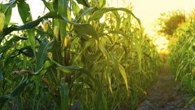 Champ de maïs dans le coucher du soleil Photo stock