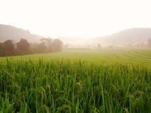 Champ de maïs dans le matin chez Doi Inthanon Photos stock