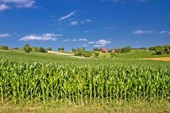Champ de maïs dans le paysage rural agricole image libre de droits
