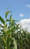 Champ de maïs de maïs Image stock