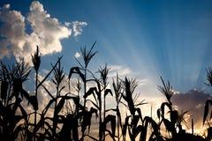 Champ de maïs de maïs au coucher du soleil Photographie stock libre de droits