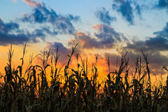 Champ de maïs de Sundwon image stock