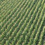 Champ de maïs de vue aérienne Photo stock