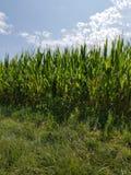 Champ de maïs du soleil d'été envahi Images libres de droits