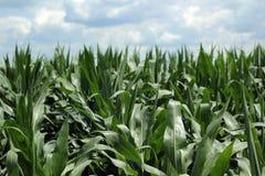 Champ de maïs en été Photos libres de droits