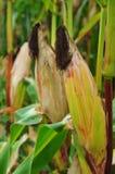 Champ de maïs en automne Photographie stock libre de droits
