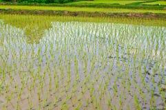 Champ de maïs en Thaïlande Images libres de droits