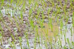 Champ de maïs en Thaïlande Images stock