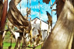 Champ de maïs et grange Images stock