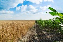 Champ de maïs grandissant, paysage agricole vert Photos libres de droits