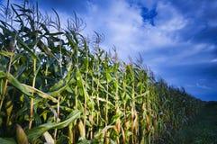 Champ de maïs la nuit Photo stock