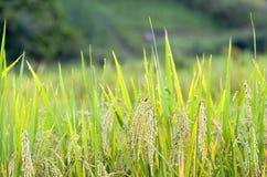 champ de maïs, riz photographie stock libre de droits