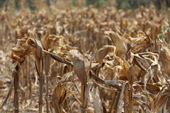 Champ de maïs sec Image stock