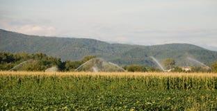 Champ de maïs sous l'irrigation Photos stock