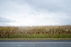 Champ de maïs sous un ciel foncé Images libres de droits