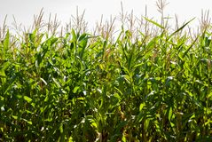 Champ de maïs un jour ensoleillé à la fin de l'été image stock