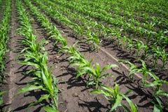Champ de maïs vert Images stock