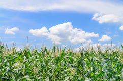 Champ de maïs vert Photographie stock