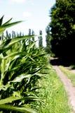 Champ de maïs vert photo stock