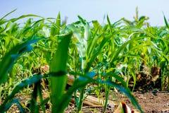 Champ de maïs vert vert frais, ferme indienne, image stock