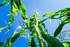 Champ de maïs vert pendant l'été Images stock