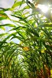 Champ de maïs vu de l'intérieur des rangées Photographie stock libre de droits
