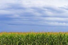 Champ de maïs avec des nuages de tempête aériens Photo stock