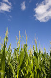 Champ de maïs et ciel bleu Image libre de droits