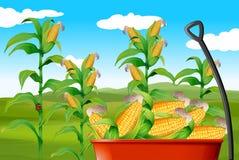Champ de maïs et maïs dans le chariot Photos stock